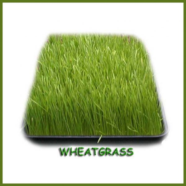 Wheatgrass finished grown