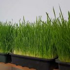Grow Your Own Wheatgrass from Seed